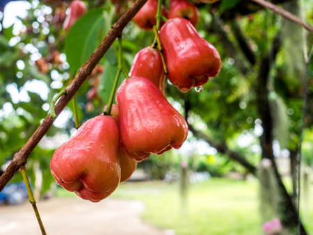 red rose apple on tree in a garden,Thailand.