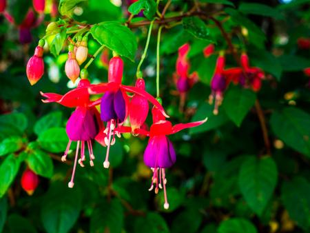 Beautiful fuchsia magellanica flower, Hanging fuchsia flowers in the garden. Reklamní fotografie