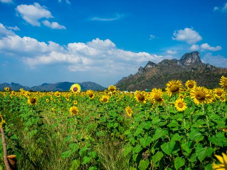 Sonnenblumenfeld, Sonnenblumen bei Khao Jeen Lae, Provinz Lopburi, Thailand.