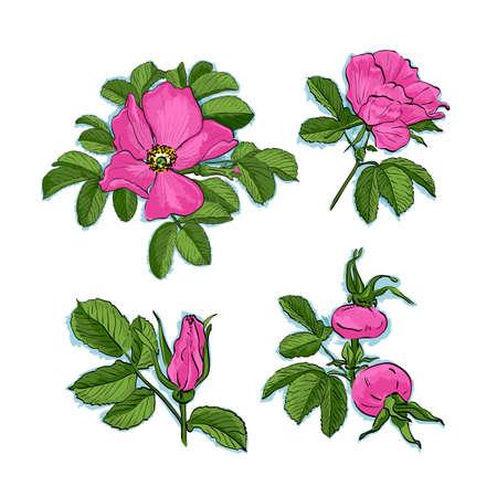 Dog-rose drawing flowers.