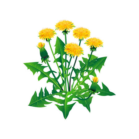 Vector dandelions isolated. Realistic yellow dandelions on a white background
