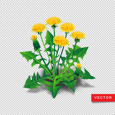 Vector dandelions isolated. Realistic yellow dandelions with leaves on a transparent background. All objects are editable, vector dandelion