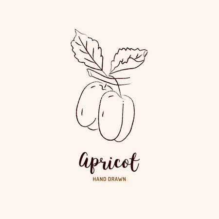 Apricot drawing Vector hand drawn apricots. Sketch of apricots on white background, Vector isolated icons