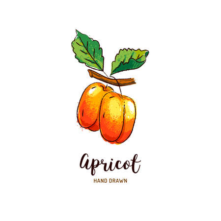 Apricot drawing Vector hand drawn apricots, Watercolor colorful apricots. Vector isolated icons Illusztráció