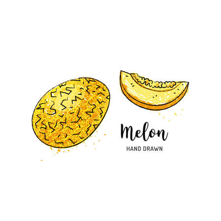 Melon fruit drawing. Watercolor melon on a white background. Vector isolated illustration