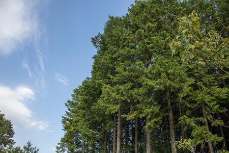 Cedar trees and blue sky background Reklamní fotografie