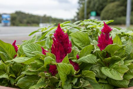 Red celosia flower  plumed cockscomb