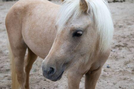 Brown pony with white mane Reklamní fotografie