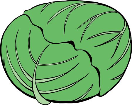 Green cabbage simple vector illustration Ilustrace