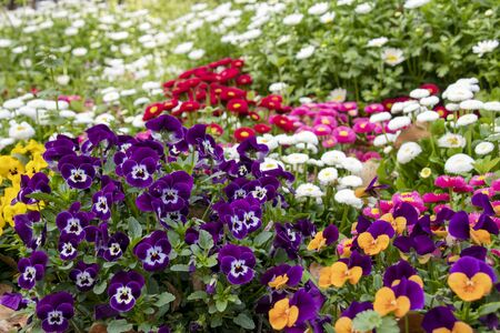 Flowerbed with pansies, daisies and margarets