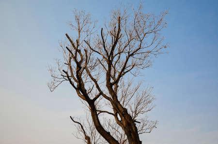arbol alamo: �rbol de �lamo en el cielo