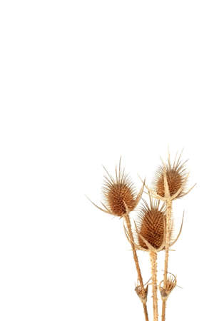 unkind: Few dry golden Crimean thistles on white background