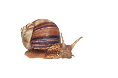 Large Crimean (forest) snail (Helix lucorum) on a road to success photo