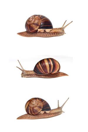 Large Crimean (forest) snail (Helix lucorum) on a white background photo