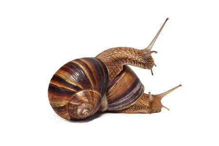 Two large Crimean (forest) snails (Helix lucorum) on a white background photo