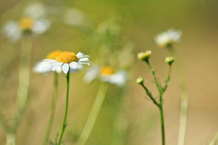 medical field: Romantic background of flowering chamomiles on the summer meadow Stock Photo