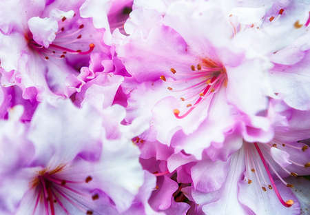 Full bloom pink and white clustered Rhododendron