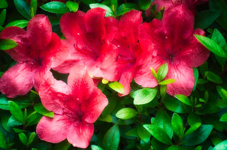 Red Azalea glowing blooms brightens a spring day.