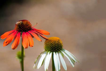 ハチとオレンジと白の円錐の花のクローズアップ。