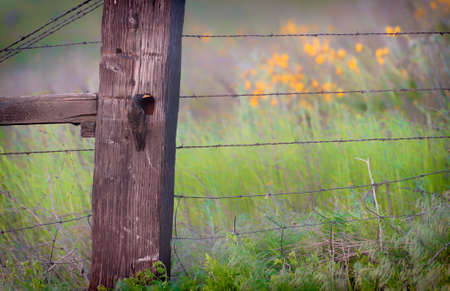 A startling tends to its nest made in a cavaity in a wooden fence post.
