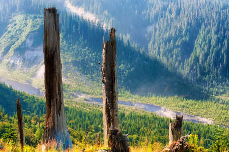 Remnants from Mt. St. Helens blast, some standing, some fallen mixed with new growth in Gifford Pinchot National Forest in Washington State, Stock Photo