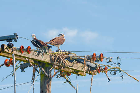 A pair of Oprey built a next on top of a power pole. Stock Photo