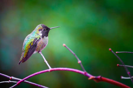 Closeup of a Annas Hummingbird perched on a branch with copyspace.