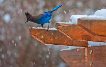 Picture of a Steller's Jay perched on an arbor in the photographer's backyard on a snowy March day.