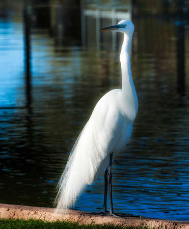 This Great Egret startled us when it landed in the park we were visiting in Yuma, Arizonia.  Unafraid it stood at the edge of the wading pool watching the ground of people who had gathered to look at him. Stock Photo