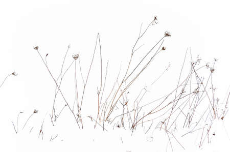 Previous seasoned dried Queen Anne Lace stalks strikes a contrast amongst snow.