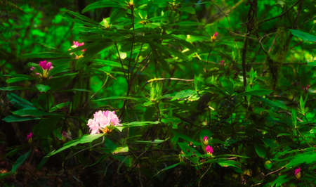 A sparsely blooming wild rhododendron bush.