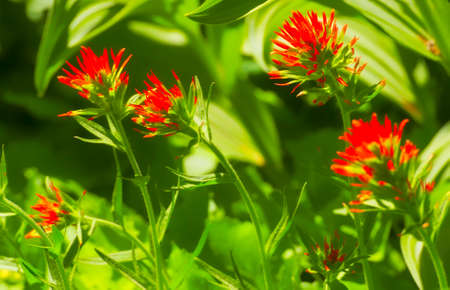 Wildflower, paintbrush,seen while hiking Umbrella Falls Trail in Mt. Hood National Forrest.