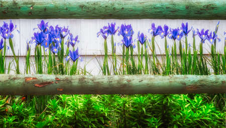 A green tinted wooden rail fence frames a row of blue Irises.
