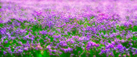 A dreamlike effect of a field of chives Stock Photo