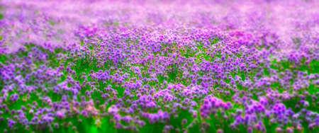 A dreamlike effect of a field of chives Reklamní fotografie