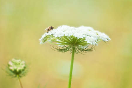 Closeup of Queen Annes Lace flower with a pollinating bee 스톡 콘텐츠