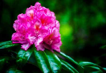 One large cluster of Rhododendron bloom on top of large green waxy leaves.