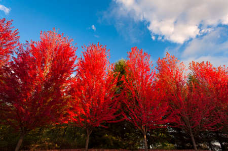 A line of red leaf autumn trees against a blue sky with white clouds