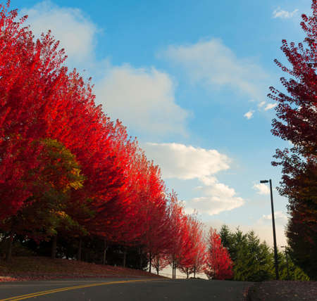 Autumn red leaves on trees line a road the sky is blue with white clouds.