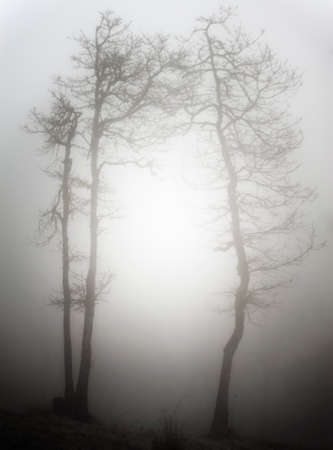 Two trees for a frame around the sunlit fog