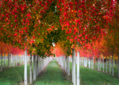 Rows of autumn colored trees. 스톡 콘텐츠