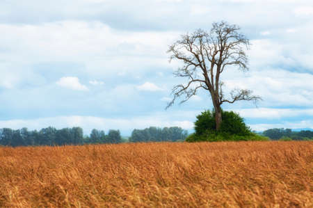 White Oak tree bare of leaves sits in the middle of a field under cloudy skies 스톡 콘텐츠
