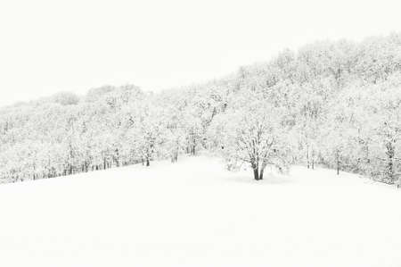 Copyspace available in this miminalist winter landscape of snow covered oak grove on hillside.  The trees structues a great contrast to the white snow. 스톡 콘텐츠