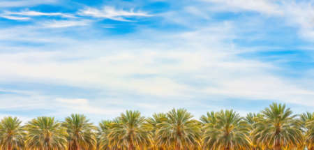 Palm trees under cloudy skies in the Arizonia desert