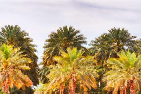 Closeup of palm tree grove in Arizonia Banco de Imagens