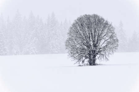 A lone White Oak stand in a field with evergreens in the background while a winter storm whitens the landscape.