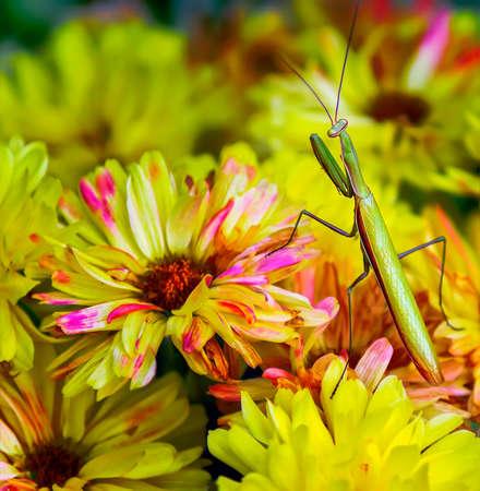 Walking stick transversing the top of a yellow Chrysanthemums.