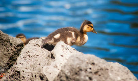 Photograph of a Canada gosling contemplating a jump from his perch on rock into the water below.