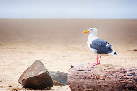 Seagull perched on a driftwood at Tolovana Beach at Cannon Beach, Oregon