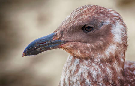 A young seagull poses for his mug shot.  It takes four years for a Pacific Gull to mature into an adult when its plumage will change from mottled brown to mostly white plumage. Intelligent birds who a
